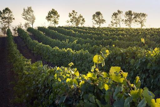 Gold Coast Vineyards Image