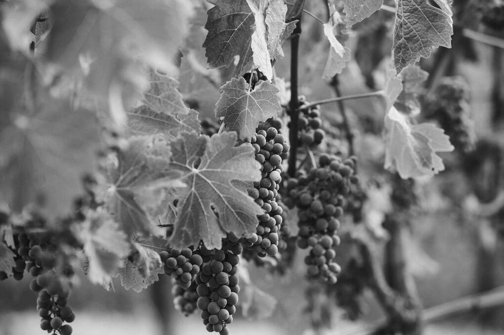 Italics Winegrowers Cover Image