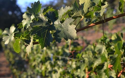 Sill Family Vineyards Image