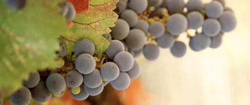 Gino Cuneo Cellars Cover Image
