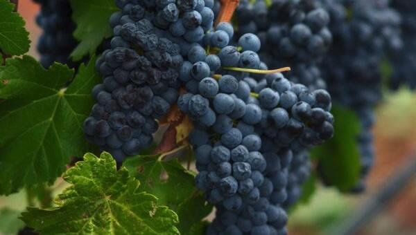 Stanton Vineyards Cover Image